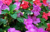 Warmte Tolerant jaarlijkse bloemen