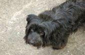 Home behandelingen voor oorpijn bij honden