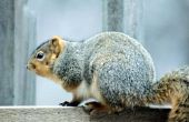 Tekenen & symptomen van rabiës in eekhoorns