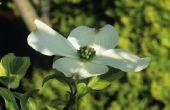 Wat Is de betekenis van de bloei kornoelje boom?
