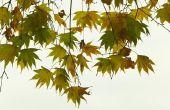 Wanneer kunt u een Japanse esdoorn-boom bijsnijden?