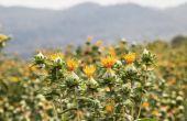 Het verschil tussen Saffloer & zonnebloem