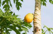 Landscaping met tropische vruchten