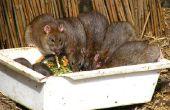How to Get Rid van Rats in het hok