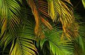 Mijn palmboom Is rot