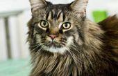 Hoeveel Maine Coon katten wegen?
