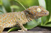 Soorten gekko's in Hawaï