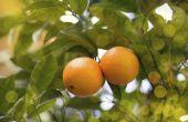 Hoe de zorg voor een Meyer citroen boom binnenshuis