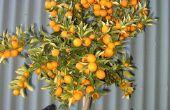 Hoe te snoeien van de bomen van het Fruit van de dwerg