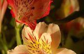 Alstroemeria bloem betekenis