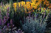 Kunnen rozemarijn & lavendel groeien naast elkaar?