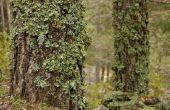 Groene schimmel op boomschors