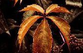 Wat Perennials hebben 5 bladeren?