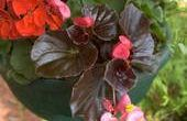 How to Care for Wax Begonias