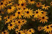 Feiten over Black-Eyed Susan bloemen