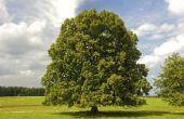 Linden boom feiten
