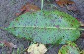 Hoe te genezen van zwarte vlekken op planten
