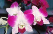 Wanneer zijn orchideeën in seizoen?