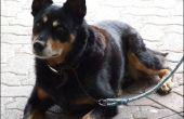 Hoe de behandeling van lintwormen bij honden