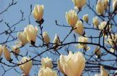 Kan een schotel magnoliaboom witte bloemen bloeien?