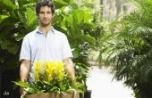 Hoe de zorg voor een 'Oranje Star'-Plant