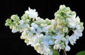 Hoe een Japanse Lila boom snoeien