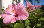 Het behouden van een Hibiscus bloem