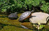 Feiten over rode Baby Red-Bellied schildpadden