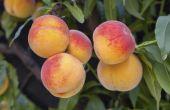 Perzikbomen voor warme locaties