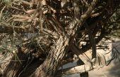 Hoe te snoeien van olijfbomen