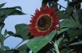 Informatie over de koningin van de Velvet zonnebloem