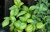 Basil Plant en mijten