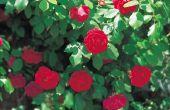 Struiken die hebben bloemen All Summer Long