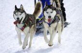 Hoe om honden te trainen voor de Iditarod
