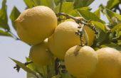 How to Grow citroenbomen in Spanje