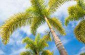 Hoe de zorg voor een Foxtail Palm