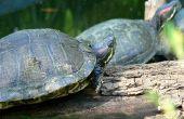 Hoe vindt u Freshwater Turtle nesten in het Wild