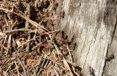Hoe om te doden van timmerman mieren in een boom