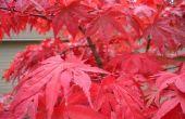 Het bepalen van het Type van een Japanse esdoorn-boom