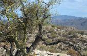 Hoe Plant een boom Palo Verde