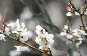 Hoe & wanneer snoeien een kersenboom