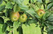 Hoe te identificeren van fruitbomen door bladeren