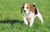 Stinkende diarree bij honden