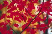 Rode esdoorn boom feiten