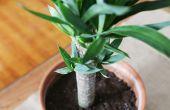 Hoe de zorg voor een Yucca Plant