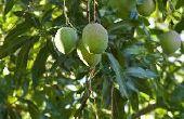 Wanneer mangobomen bemesten