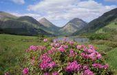 Traditionele Schotse bloemen