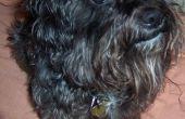 Hoe te verzorgen van een Schnoodle hond