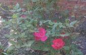 Hoe te snoeien van een struik Rose