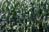 Waarom Is mijn zoete maïs groei onvolgroeide?